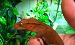 I'm sell a male juvenile red Dalmatian crested gecko. He's Tail-less and super friendly. At the moment he's eat rephasy and dusted crickets. Contact if interested. This ad was posted with the Kijiji Classifieds app.