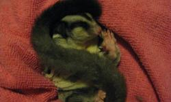 Male sugar glider. $200 http://s80.photobucket.com/albums/j199/flexxxycj/?action=view&current=20110930_1462988649.mp4 copy and past above.should link to a video of him. sorry its sideways... Good pet but have recently got a cat and he is not liking that.
