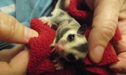 All so have a white face blond male sugar glider he was out of pouch Oct. 25 and is ready to go to his new home now. He will come with a glider blanket, joey food and bonding pouch. Will need a little work to bond to you.