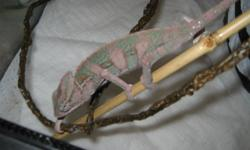 Male veiled chameleon about a year old. Does not come with tank or lights. No Trades. Call or text for more information or viewing. 519 854 2435