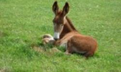We have a soon to be weaned red jack foal that will be looking for his forever home in a month or so.  John is a very friendly, well mannered boy. He thinks that everybody should be there to pet him and of course give him the tips off the carrots!!   In