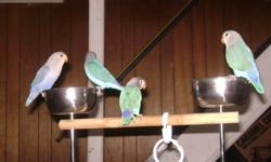 Hi   We have several babies to choose from.   Weaned and ready to go:   Fischer lovebirds, masked lovebirds, wf mutations.  Prices start at $75.   Still being handfed:   Two linnies, one cobalt edged one turquoise edged. Dna sexed males.  $400 each. (will