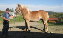 4 year old Mare Belgin, 16,3 hands, 1750 pounds, not broke.