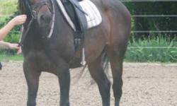 2001 registered CSH mare, by Prinz Habicht (Trakenher) out of TB mare. Despite her breeding, this mare has a very laid back attitude about work and life. Mocha stands at 15.3 hands and is dark bay with a small star and 2 white hind socks. She is currently