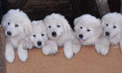 Purebred maremma sheepdog puppies.  Bred to be guardian livestock dogs.  Excellent protectors against coyotes and other predators.  Father imported from Italy.  Beautiful temperment.  Needled, dewormed, vet checked. 2 Males left
