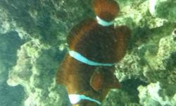 Hi, I have a couple of fishes i would like to sell. They are all very healthy, and are more grown up makig the better for show. Some of the fishes i have i do not know the names of, so i describe them more.   1. Clown Fish: 2/2.5 inches long, darker