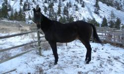 Maximus Maximus is a 19 year old Thoroughbred gelding standing roughly 16 hh he is a nice dark bay with only a little white faint. He is broke to ride English he has done some jumping but not much due to his age, he also did dressage but he don?t remember