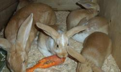 Are you looking for meat rabbits?  To fatten up or for new breeding stock?    2 litters soon ready to go.  One has 5 babies and the other has 8.  The mothers are in the pictures, father is a New Zealand.  They were just weaned on November 8th.  Or maybe