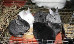 I have several meat rabbits for sale: A Breeding doe that's jut over a year old and i a proven producer. Has had 2 very successful litters, the last one giving us 9 babies! Shes light gray in color. She is a Flemish giant about 13-14 lbs. ( shes smaller