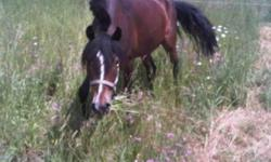 This is a wonderful little guy. He is lightly started w/t/c and is very balanced. Has a great canter! Good ground work, loves to be groomed. This pony is very well behaved and safe to work around. Very tough, very sound. Needs a loving new owner to
