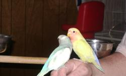 Hi   We have a very nice selection of beautiful, super friendly handfed baby birds.  Our babies are handled and played with daily and are very very tame.  Our babies make wonderful pets.   Weaned and ready NOW: LOVEBIRDS Fischers, masked, wf mutations,