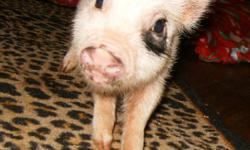 Micro Pigs make amazing pets! They are highly intelligent and easily trainable. They are hypo-allergenic, very clean, litter-trained, and can walk with a harness and leash. They only cost pennies a day to feed and require little exercise. This is a great