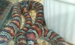 Desert Reptile kit for sale $79.99 plus hst includes everything you need to set up your new snake (snake extra).  This set up is perfect for Milk snakes, King snakes or Corn snakes come on in and checkout our selection.   Hamilton Reptile 873 King St E,