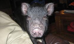 "Adorable 4 month old neutered male miniature pig. Living in house with 3 dogs and a cat. Due to neighbors dogs posing a serious threat to ""Mortimor's"" life - I need to find a new home for him. Could live in barn with other companion pets too. He will"