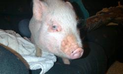 We have a loving minature pot belly female pig - almost 4 months old  who needs a loving home.  She is pink with a few black markings. Crate trained, loves to be with people.  Needs a family who has more time to spend with her.  Loves to cuddle.  Will