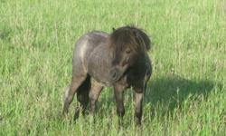 5 year old Minature Blue Roan stud for sale. He stands 32 in high and works well with his feet.   $500 firm