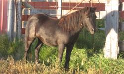 Mini black mare for sale. She is halter broke and bred to a black and white paint stud. She is quiet and well mannered. For more information please call 1-306-445-7563.