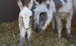 Ready to be weaned, two adorable mini donkey foals - a super sweet brown jenny and a white & gray spotted tiny jack with big personality.  Handled since birth, very sociable, love attention, and are comfortable around chickens, sheep, horses, cats, our