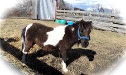 We have 2 fillies sorrel & white $250.00 each.obo, 1 black & white stud colt $ 225.00 obo Also 1 34 in mare exposed Black & White $ 550.00. Last one is Black & White stud small, 29 in. Asking $500.00. Please call 780-603-7021