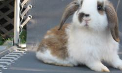 I have 1 mini lop bunny left. He is 9 weeks old and cute as can  be.  The babies are handled alot so they are not skiddish. Please call 453-5479 if interested.