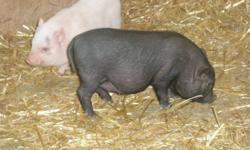 3 male potbelly pigs, 1 black & 2 pink, ready to go now, 7 weeks old, weaned & eating 'pig starter' pellets. small parents on site, approx 50lbs. FIRST COME, FIRST PICK.  located near Listowel on Line 86.