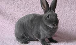 I have 2 friendly Mini Rex rabbits for sale.  Their fur is sooo soft.  They are 8 weeks old and both are does.  No cage available.