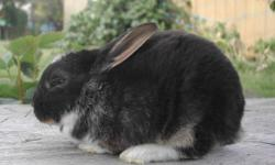 """2 mini rex does for sale. They are sisters and about 4 months old. """"Booted"""" black otters (black with brown areas and a few white patches - very cute!) These girls are fully pedigreed and could be used in a breeding program or for pets. Pictures are from a"""