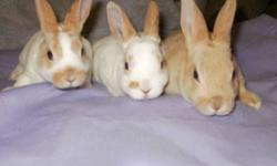 I have 3 mini rex bunnies, 1 brown and 2 white with brown markings  born Nov.1,2011   Also have 3 mini rex bunnies, 1 rust brown and 2 white with brown markings born Nov.5, 2011   the first and second pics are the bunnies born Nov.1 the 3rd pic is the one