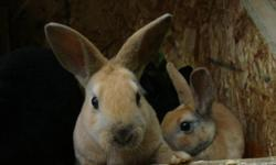 Mini Rex bunnies for sale various colors both bucks and does colors are sable point  harliquin  black  red eyed white.Adults sometimes available.