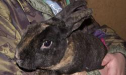 These bunnies are a year old. The two Harliquin are males.  If you are interested in one of these bunnies please call 613-735-2033. No emails please.    Pictures will be removed as each bunny finds a new home.