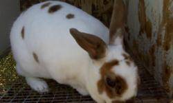 I have Mini Rex Rabbits 1 Buck and 3 Does. -2 are Tri - Does -2 are Harlequin - Buck & Doe They are 1 1/2 years old. Rabbits are quiet and easy to care for. Mine are friendly and healthy.   $20.00 each   Please Phone Sandra 780-963-0280