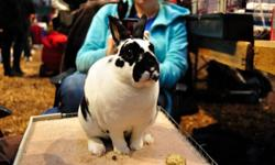 I run Velveteen Rabbitry. I breed Mini Rex/Dutch rabbits and compete throughout the year in the Dominion rabbit and cavy association in and around Ontario and attend some ARBA shows in the states. We have won multiple BOB-Best of Breeds, ROB-Reserve of