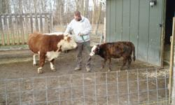 C. R. Mini Farm is offering Spike, a 5 month old Miniature Hereford - Dexter/Zebu cross. Sire: Miniature Hereford Dam: Miniature Dexter - Zebu cross Currently working on halter training Will sell Spike castrated or intact (buyers request) Not for sale for