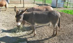 Miniature Donkey Jenny;  4 years old and brown in colour.  Bred to a small colourful jack that is white with grey spots.  Parents are registered but she is not.  Call 250-546-4089  Armstrong