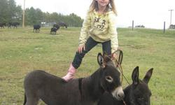 Little mini donkeys for sale.  Kid friendly and great sheep/goat guard animals.  Jennies only.