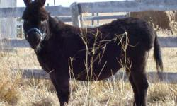 Looking to find good homes for Burt and Ernie. Burt and Ernie are Black donkeys. They are both gelded, halter broke friendly and cute! Their vacinations and deworming are up to date. They are used to getting their hooves trimed so stand good for the