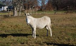 Breeding pair or will sell separetly. Female age 5 yrs.(.Casper) White in colour. Last foal was a spotted jenny. Male 5 yrs.Mr. Brown Halter trained and very friendly. Vacinations up to date.