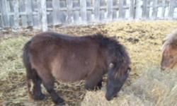 Eigthteen  month old filly and stud miniatures for sale . Holter broke and broke to lead. Call 306-747-3720 or 306 747-7110