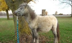 Jade (Miller's ChocTaw Jade) is a beautiful 'Few Spot Appaloosa' filly.  She's 8 1/2 months old, fully weaned and leads like a puppy!  She's silver with black main and tail and right now has just 3 spots .  Mom is a bay silver dapple app and dad is a loud