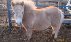 """For sale is the following Miniature Foals Filly Born May 27 and should Mature around the 29"""" - Cinnamon  -  $250 - Has 1 Blue Eye Filly Born June 9 and should Mature around the 29""""  - Abby  -  $250 Filly Born May 26 and should Mature around the 30"""" - Lucy"""