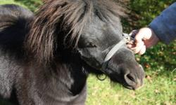 2 year old stallion miniature horse. Sweet little guy with loads of potential if you have the time and attention put in. Halter broke, can be lead on a lunge line.  Great companion, would make a great horse for cart pulling. Great for a stud too.