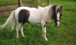 Selling a miniature horse mare and her 2 year old stud. Would make a great New Years present.   $500.00 each. Negotiable.   Destiny (aka Teenie) is a nine year old miniature horse mare. Cooper is a 1 1/2 year old miniature horse (not gelded). Born June