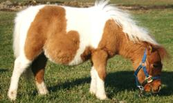 All mini's are registered they are all up to date on shots and are very well behaved we only have 4 left. $400.00 each They are all stallions