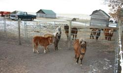 2 Males, 1Females - Miniatures Horses   1 male - 1 1/2 old 1 male - 8 months old 1 female - 8 months old   Replies by phone only 780-367-2403