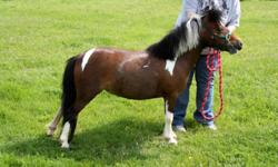 2005 WCMHR reg. Miniature pinto mare 30?. Although she is not harness broke, she has been successfully used as a broodmare. Up to date on all vaccines and deworming. She has a sweet personality, and has great proportional conformation. Pedigree: