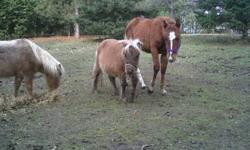 I have two (unregistered) miniature mares for sale. One is halter broke and is extremely friendly. She stands approximately 31 inches tall and is utd on farrier and has been de-wormed (Sept.3/2011). Has been running with a stud all year and possibly