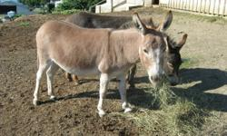 Miniature Donkey Jenny;  Registered, 33.5 inches tall and Red Dunn in colour.  Foals with ease and is good natured.  Call 250-546-4089   Armstrong