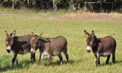 Both pet and registered geldings available. Gray dun, brown, brown black, and spotted ranging from 30 to 33 inches. Currently 8 to choose from. Reg. $650, on sale for $600 until Dec 31, 2011. Check for discount on multiple purchases. Call or email for