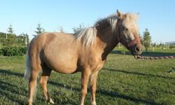 Nice 3 Year Old Palomino Miniature Horse for Sale. To View Please call Marge @ 403-327-0969 Or 403-331-7675
