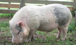 """""""oink"""" is our 5 year old Pot belly pig, he has been used in our petting farm for the past 2 years.  He loves being petted, and will lay on his back when totally subdued. He is very friendly but needs more room to roam.  He is clean and will go in a kitty"""